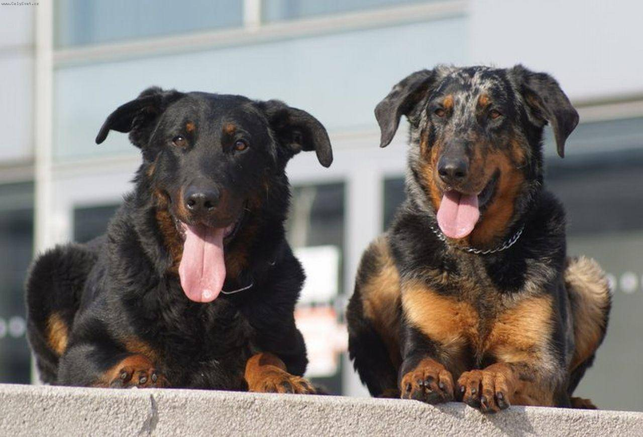 Собака босерон (французская овчарка): фото и описание породы, все об уходе