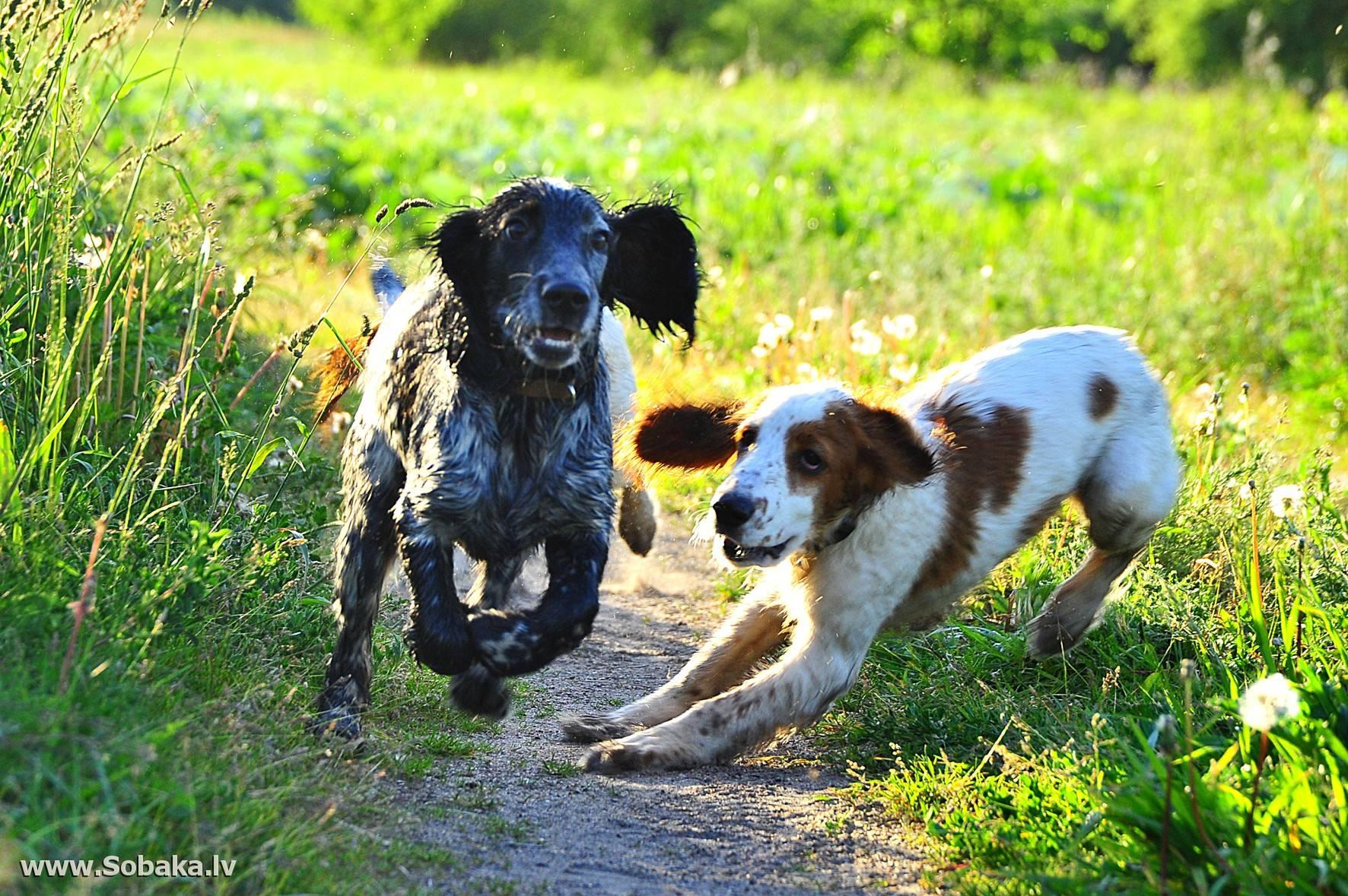 Русский охотничий спаниель: все о собаке, фото, описание породы, характер, цена