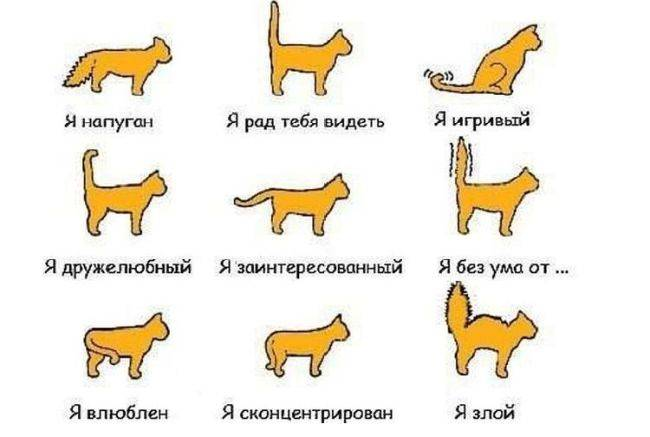 Почему кот машет хвостом?