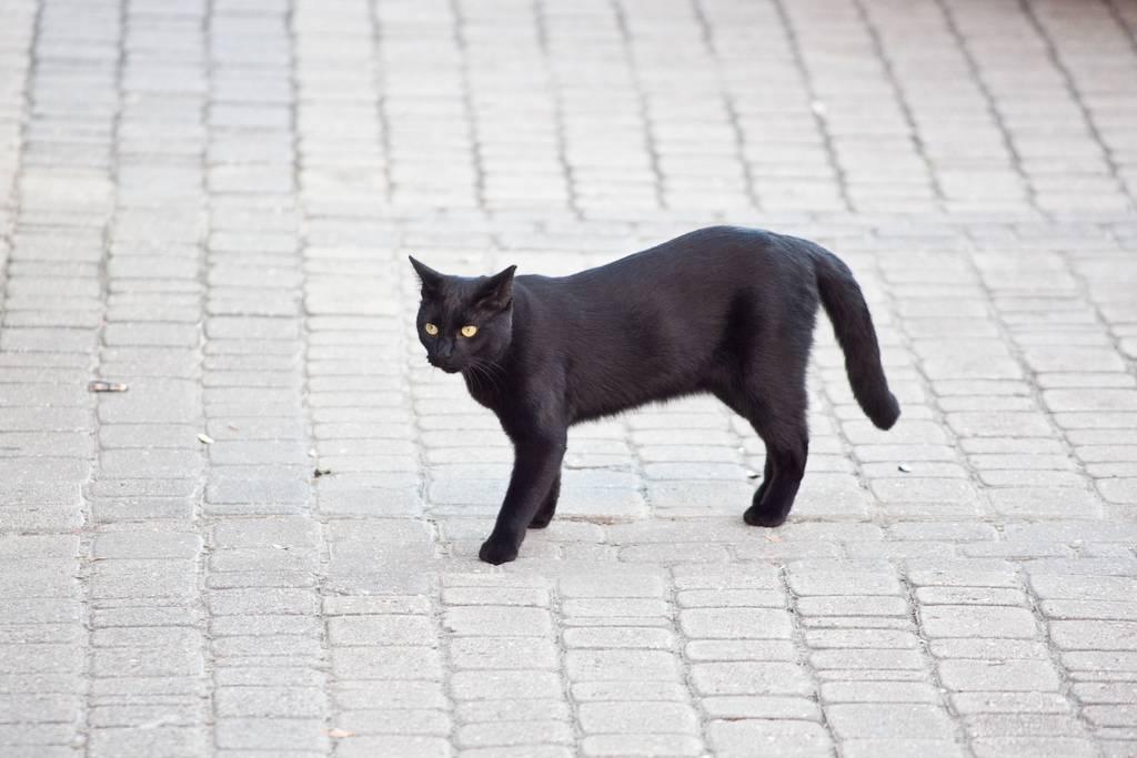 Приметы про черного кота