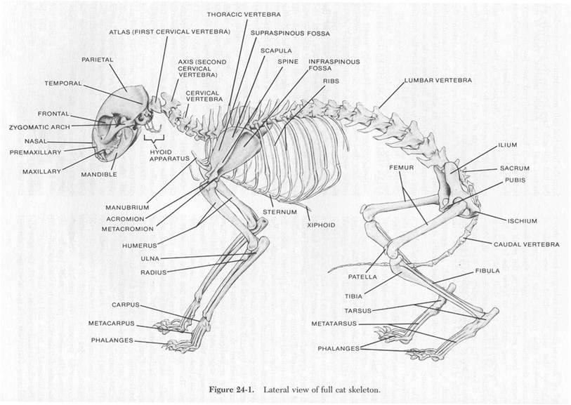 Анатомия кошки анатомия кошки