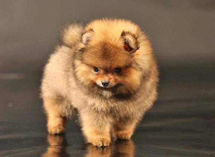 Карликовый померанский шпиц: как выглядит на фото микро питомец, стриженный, белый, черный, игрушечного и кукольного типа