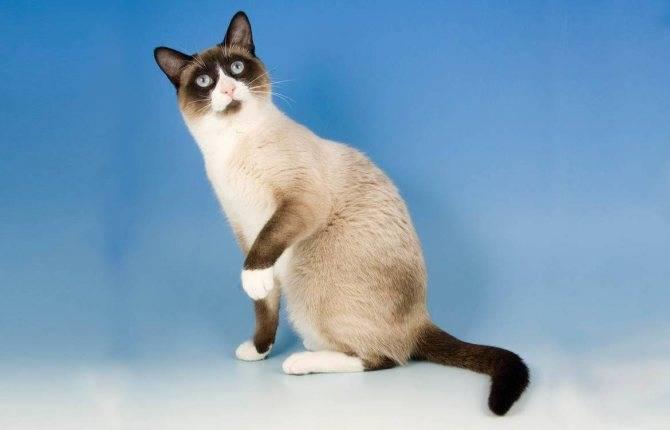 Описание породы кошек сноу-шу – внешний вид и особенности поведения