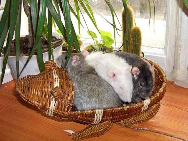 Крысы дамбо: все о декоративных домашних грызунах с большими ушами