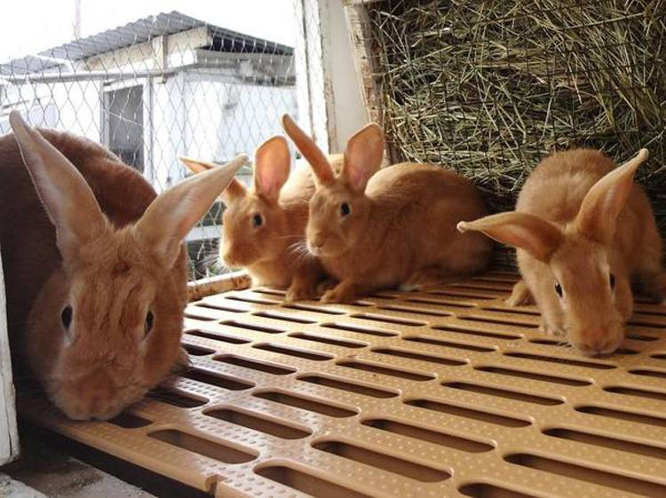 Бургундский кролик — описание породы и особенности содержания