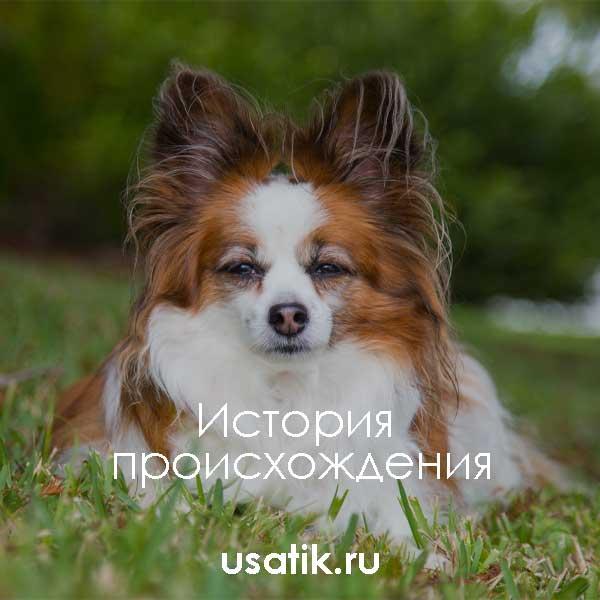 Знакомство с декоративной собакой-бабочкой: особенности ухода за породой