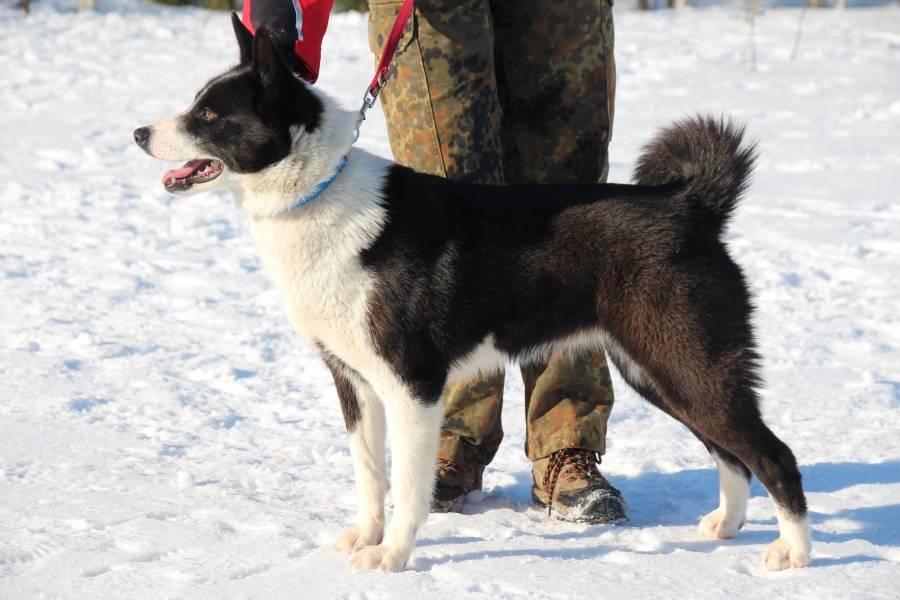 Карельская медвежья собака: описание породы - моя собака