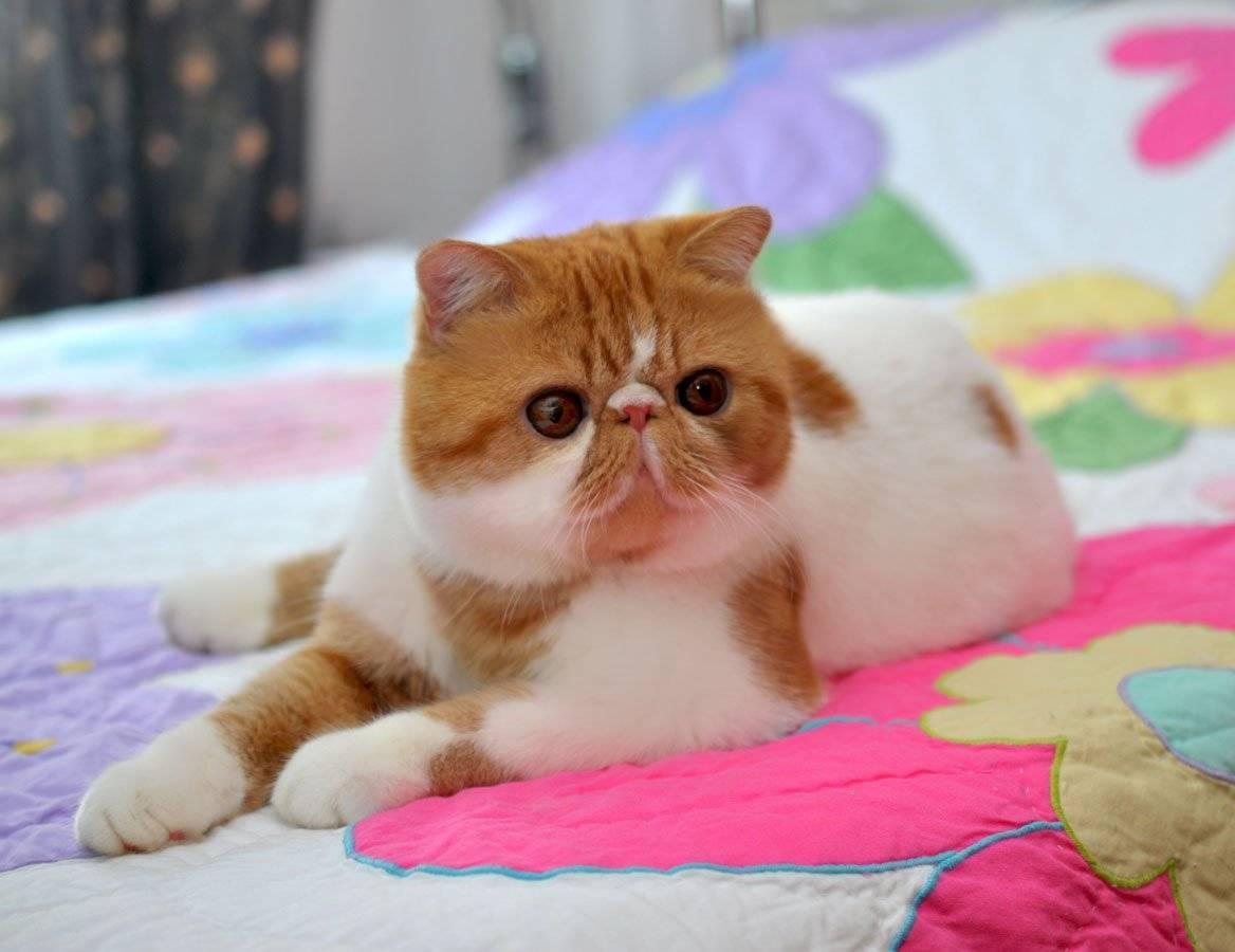 Порода кошек экзот - особенности характера и питания