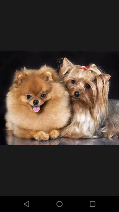 Какую собаку лучше завести шпица или йорка