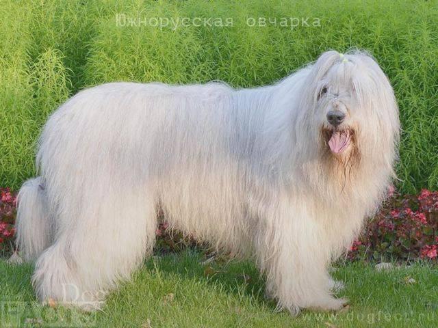 Порода собак южнорусская овчарка: фото, видео, описание породы и характер