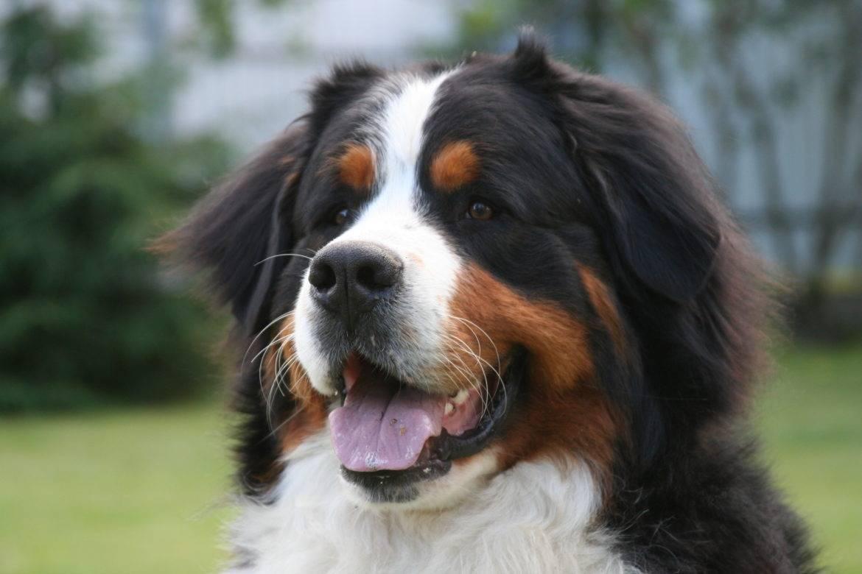 Бернский зенненхунд (бернская овчарка): описание породы,уход, дрессировка, как выбрать щенка