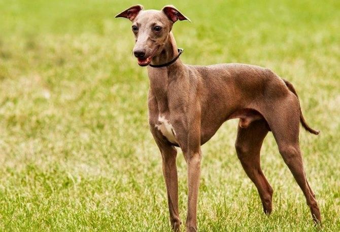 Грейхаунд собака. описание, особенности, уход и цена грейхаунда