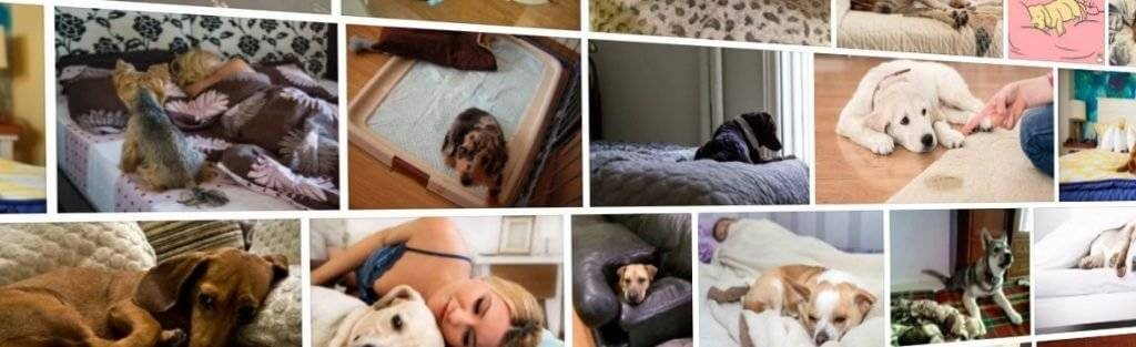Почему собака писает на кровать: хозяина, отучить гадить