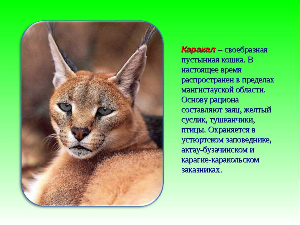 Каракал порода кошки или дикая степная рысь
