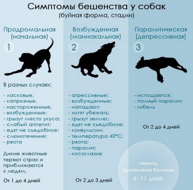 Карантин после прививки от бешенства у собак: сколько длится, когда можно гулять