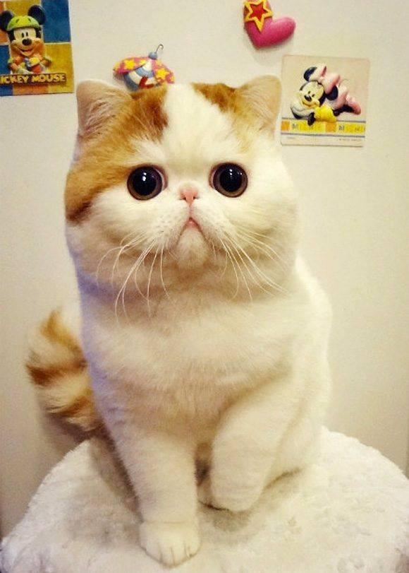 Коты и кошки с большими глазами   фото, порода