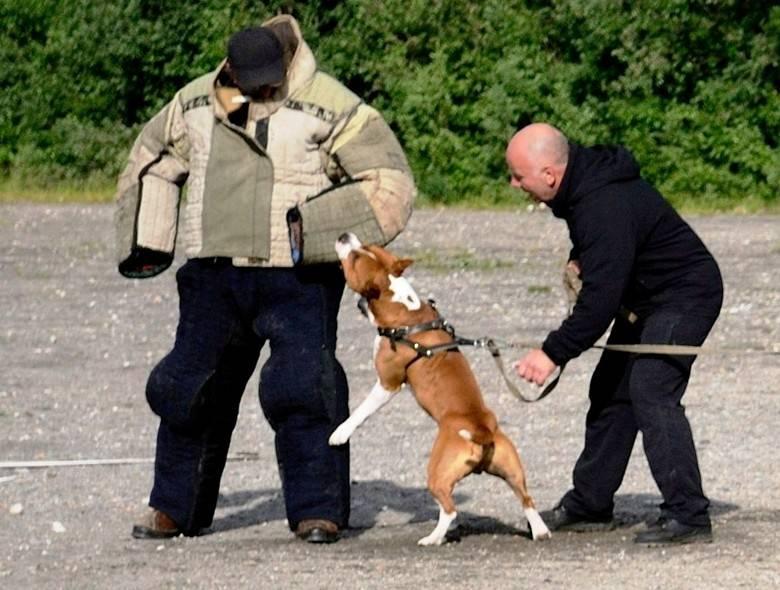 Воспитание и дрессировка американского стаффордширского терьера: как заставить слушаться доминантную собаку