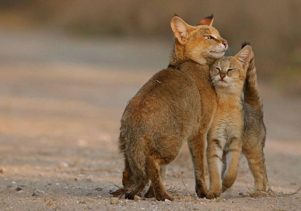 Камышовая кошка, или болотная рысь, или хаус