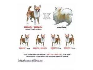 Что важно знать о видах и типах чихуахуа