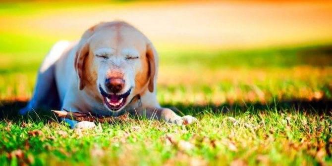 Почему собака чихает, фыркает: возможные причины, что делать