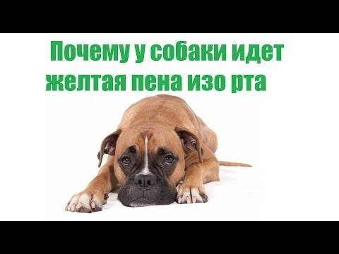 Собаку рвет пеной: основные причины и способы лечения