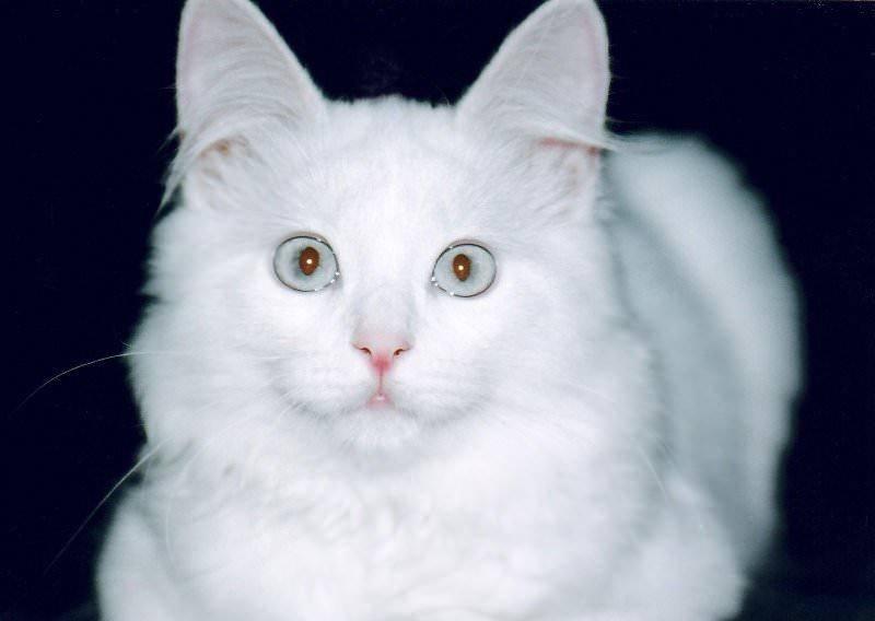 Турецкая ангора порода с разными глазами
