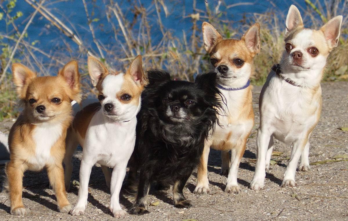 Чихуахуа — история породы, описание, темперамент, отношение к людям и животным, уход + 92 фото