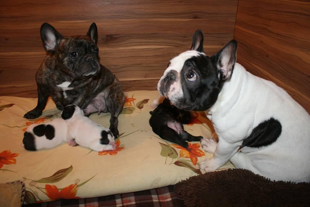 Французский бульдог: как воспитать щенка, правильно его выбрать, приучить дома к туалету (лотку), а также уход и содержание питомца, особенности дрессировки породы