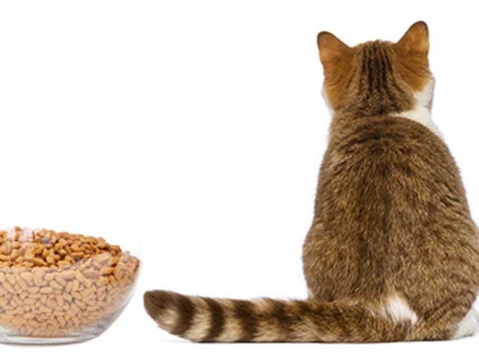Нужно ли что-то делать, если кошка не ест?