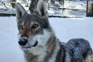 Волкособ — гибрид собаки и волка