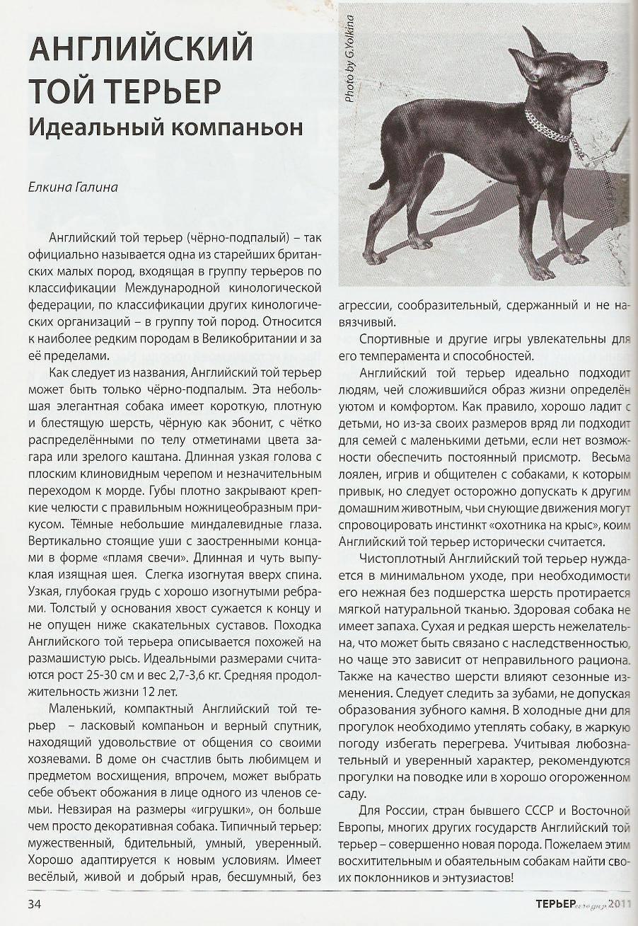 Английский той-терьер: описание породы, фото, характер, щенки