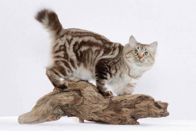 Курильский бобтейл: фото породы, цена котенка, описание стандарта и характера