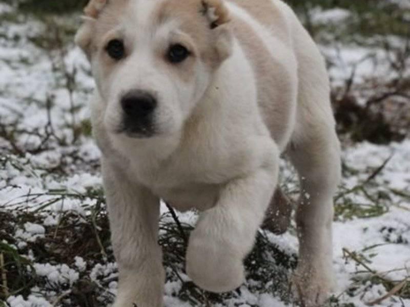 Важна ли кличка для щенка? как назвать алабая мальчика или девочку?