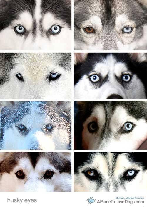 Хаски с голубыми глазами: фото собак, причины появления этой особенности у породы и меняется ли цвет у щенков с возрастом