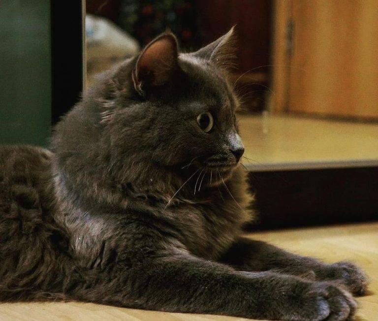 Кошка нибелунг: характер, фото, видео, отзывы