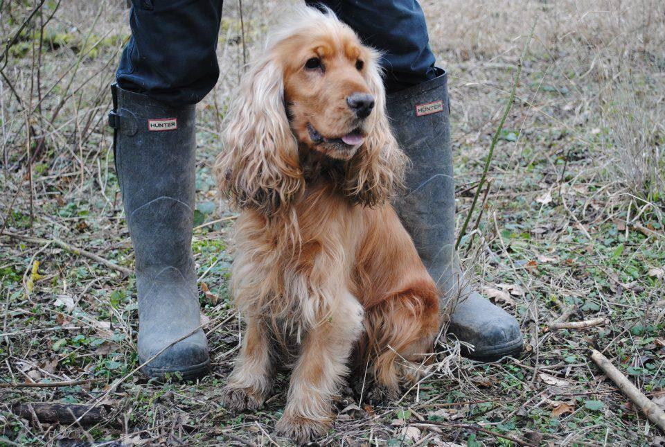 Русский кокер спаниель: внешний вид, описание и характеристика охотничьей собаки