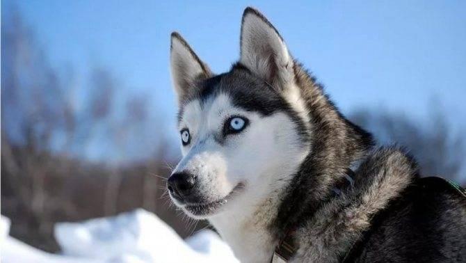 Как выглядят хаски с голубыми глазами и почему такой цвет встречается у этой породы собак с темным окрасом