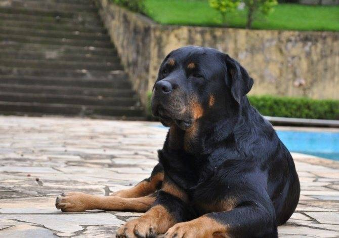 Ротвейлер – непростая собака для сильных людей