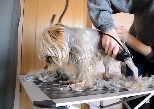 Стрижка пуделя: как правильно подстричь собаку мальчика и девочку