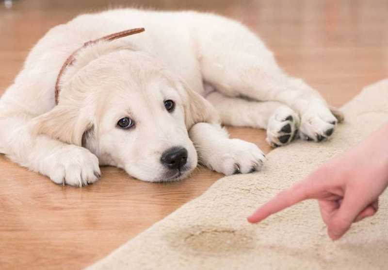 Почему собака во время течки мочится дома?   кожные заболевания у собак