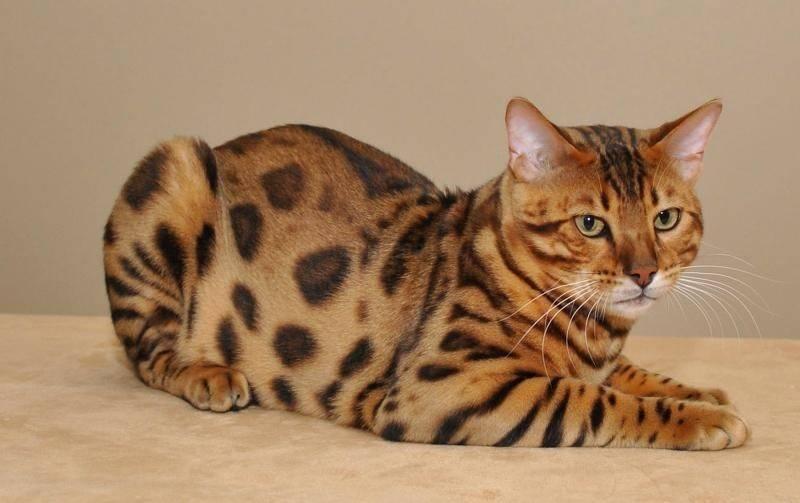 Бенгальская кошка: описание породы, характер и повадки, фото, как выбрать котенка, отзывы владельцев домашнего бенгала