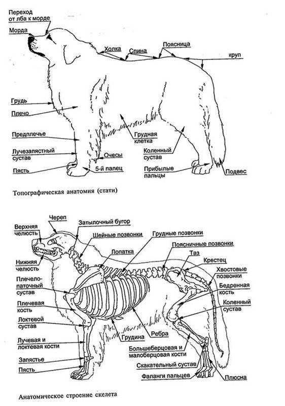 Анатомия собаки: внешнее и внутреннее строение тела