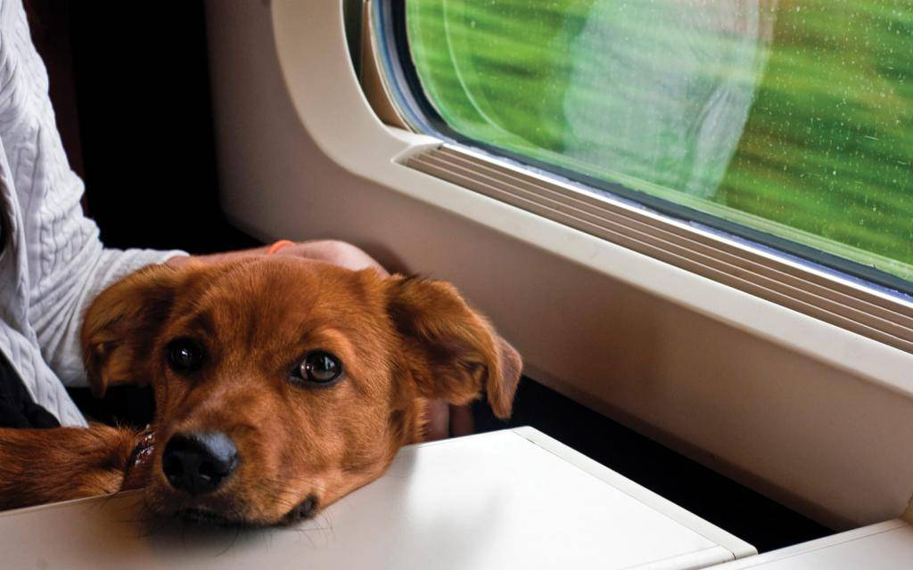 Правила перевозки собак в поезде по россии: как перевозить животных, какие нужны документы?