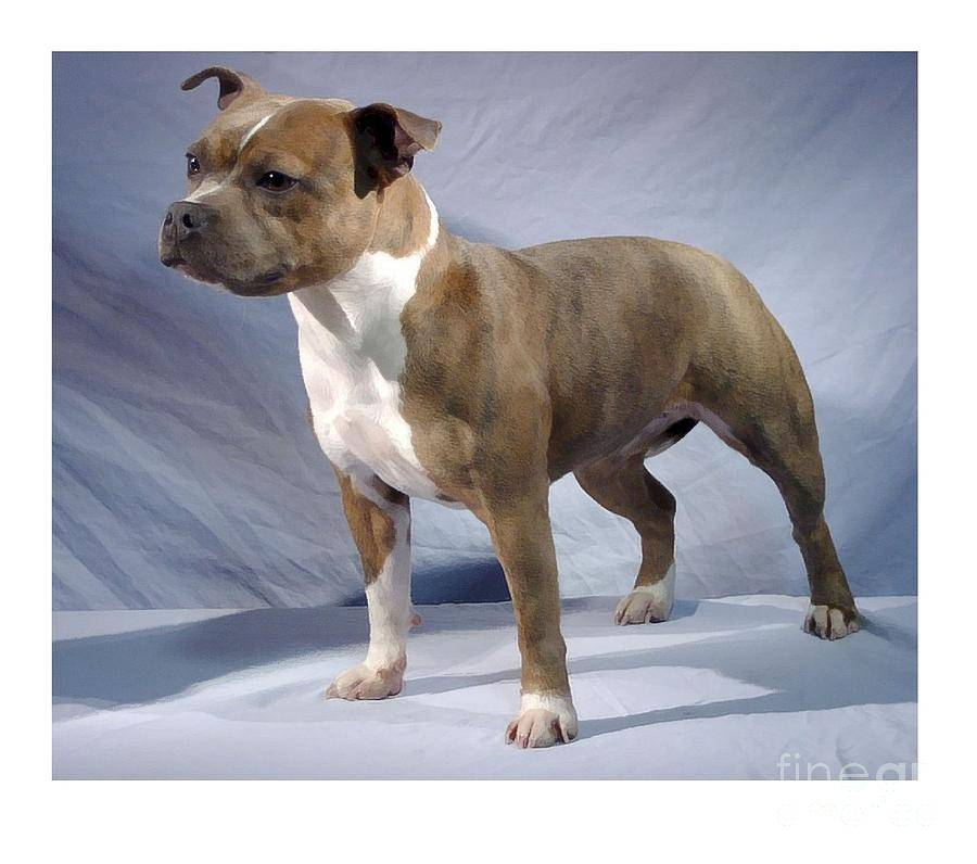 Обзор породы собак стаффордширский бультерьер: стандарт, характер, отзывы и фото