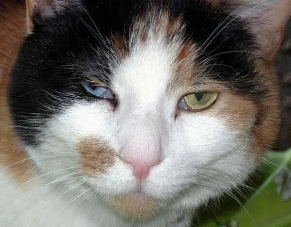 Коты с приплюснутой мордой и большими глазами: описание пород и особенности ухода