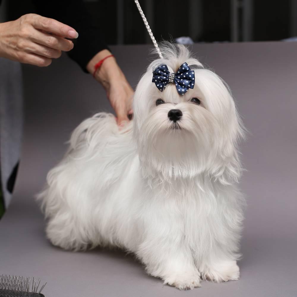 Мальтийская болонка собака. описание, особенности, уход и цена мальтийской болонки
