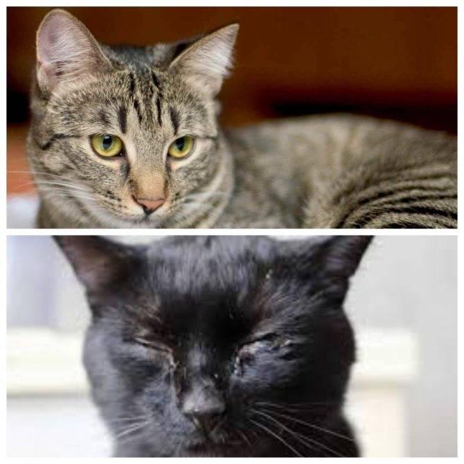Простуда у кошек - симптомы, лечение, возможные последствия