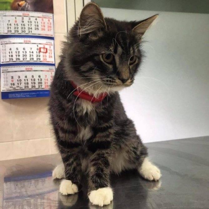 Чем кормить мейн-куна котенка, чтобы вырос большим и здоровым