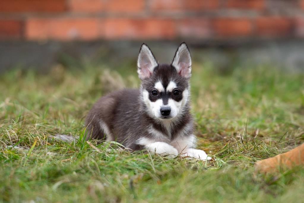 Порода собак карликовая хаски (аляскинский кли-кай, мини-хаски, миниатюрный хаски): фото, видео, описание породы и характер