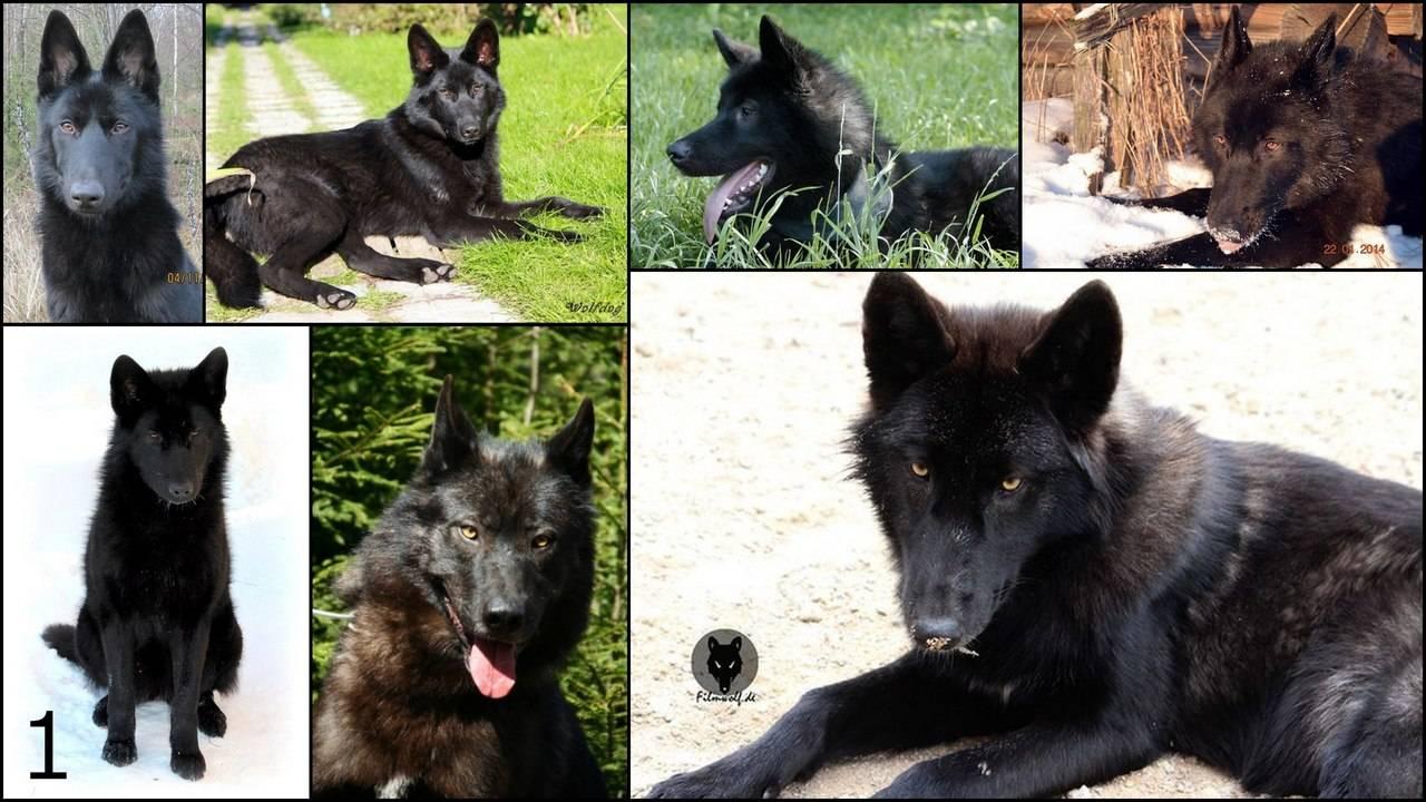 Сравнение лап у собак и волков: как отилчать следы этих животных самому